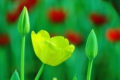 Tulipano giallo e verde nel fondo della sfuocatura Immagini Stock Libere da Diritti