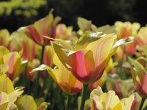 Tulipano giallo isolato con il punto debole arancio e rosa immagini stock