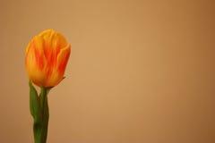 Tulipano giallo isolato, Tulipa, liliaceae Immagine Stock Libera da Diritti