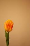 Tulipano giallo isolato, Tulipa, liliaceae Immagine Stock