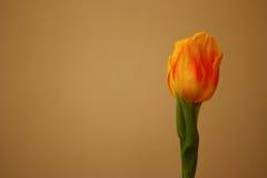 Tulipano giallo isolato, Tulipa, liliaceae, vista del primo piano Fotografia Stock Libera da Diritti