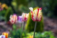 Tulipano giallo, tulipano giallo-rosso immagine stock