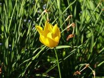 Tulipano giallo su fondo bianco Fotografia Stock