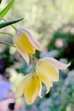 Tulipano giallo su fondo verde Fotografie Stock