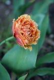 Tulipano guarnito Fotografia Stock