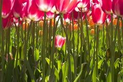 Tulipano isolato Immagine Stock