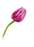 Tulipano isolato rosa dell'acquerello su fondo bianco Immagine Stock