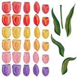 Tulipano isolato vettore su bianco royalty illustrazione gratis