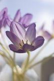 Tulipano lilla Immagini Stock Libere da Diritti