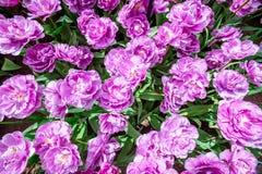 Tulipano lilla del fiore Petali fertili del fiore su un fondo di vegetazione luminosa Fotografia Stock Libera da Diritti