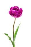 Tulipano lilla del Peony del doppio di perfezione Fotografie Stock Libere da Diritti