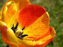 Tulipano a macroistruzione Fotografia Stock Libera da Diritti