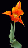 Tulipano messo a nudo arancione Immagini Stock