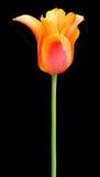 Tulipano messo a nudo arancione Fotografie Stock Libere da Diritti