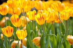 Tulipano (Monsella) con colore piacevole della priorità bassa Fotografie Stock Libere da Diritti