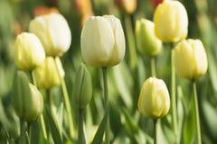 Tulipano nel tempo di primavera fotografia stock
