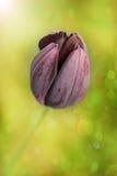 Tulipano nero Fotografie Stock Libere da Diritti