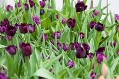 Tulipano nero Fotografia Stock