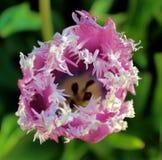 Tulipano olandese dentellare immagine stock