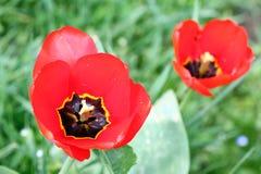 Tulipano Petalo di Tulip's Fondo della carta da parati del tulipano Vista dentro del tulipano Struttura del fiore dei tulipani  Fotografia Stock