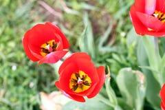 Tulipano Petalo di Tulip's Fondo della carta da parati del tulipano Vista dentro del tulipano Struttura del fiore dei tulipani  Immagini Stock