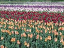 Tulipano in piena fioritura Fotografie Stock Libere da Diritti