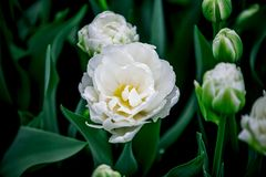 Tulipano pieno bianco del fiore dall'Olanda Fotografia Stock
