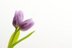Tulipano porpora del gemello del lillà Fotografia Stock