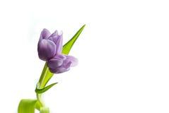 Tulipano porpora del gemello del lillà Fotografie Stock