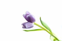 Tulipano porpora del gemello del lillà Immagini Stock Libere da Diritti