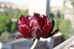 Tulipano porpora del velluto fotografie stock