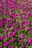 Tulipano porpora di principe in Keukenhof Fotografia Stock Libera da Diritti
