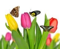 Tulipano porpora, giallo e rosso con le farfalle Fotografie Stock