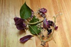 Tulipano porpora secco Fotografia Stock Libera da Diritti