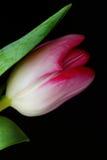 Tulipano rosa Fotografia Stock