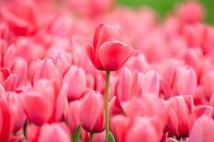 Tulipano rosa Fotografia Stock Libera da Diritti