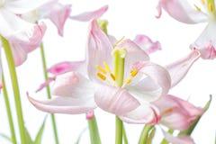 Tulipano rosa Fotografie Stock