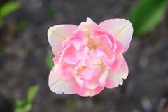 Tulipano rosa-chiaro delicato con i petali bianchi Immagini Stock