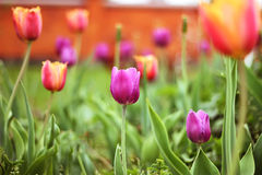 Tulipano rosa con bokeh, erba verde Fotografia Stock