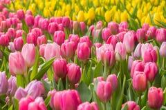 Tulipano rosa con bokeh, fuoco concentrare Fotografie Stock