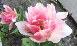 Tulipano rosa dolce della peonia Fotografia Stock