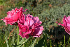 Tulipano rosa guarnito doppio Immagini Stock Libere da Diritti
