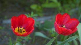 Tulipano rosso #01 video d archivio