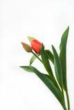 Tulipano rosso Fotografie Stock Libere da Diritti