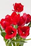 Tulipano rosso Fotografia Stock