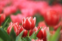 Tulipano rosso Immagine Stock