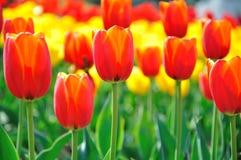 Tulipano rosso Fotografia Stock Libera da Diritti