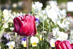 Tulipano rosso Immagini Stock