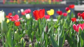 Tulipano rosso stock footage