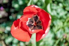 Tulipano rosso Fotografie Stock